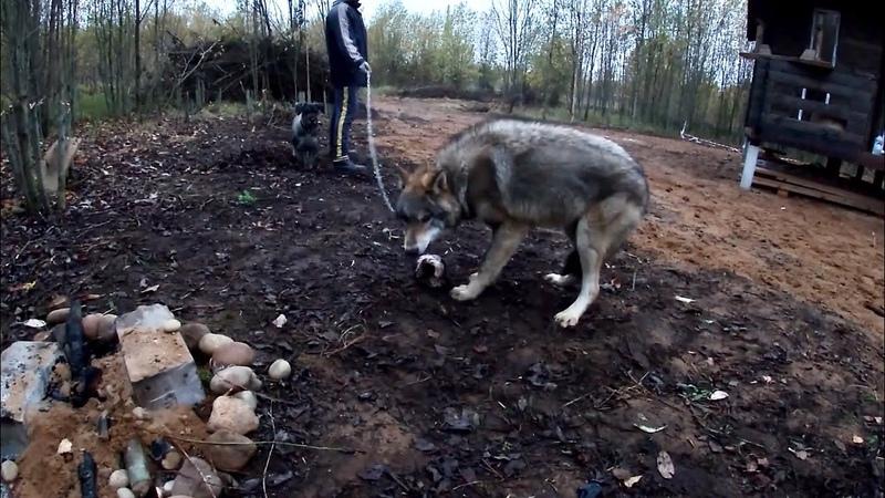 ЯКУТСКИЙ ВОЛЧОНОК ПРЕВРАТИЛСЯ В СВИРЕПОГО ВОЛЧАРУ Парк для самых крупных волков в мире
