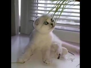 Продается шотландский вислоухий котик с зелеными глазками  в песцовой шубке!В разведение! Есть еще котята на продажу! Не дорого!
