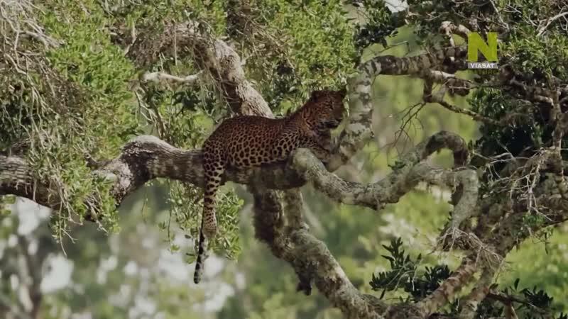 Дикая Шри Ланка царство леопардов