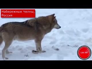 Волк с поломанной лапой воет от боли