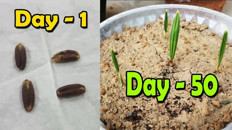 DATE SEED GERMINATION   How to Grow Date Palm Tree from Seed   Date Palm Plant - Sprouting Seeds