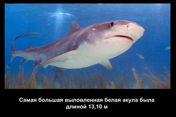 валтея - Интересные факты о акулах / Хищники морей.(Видео. Фото) RCSIGlIIrgM