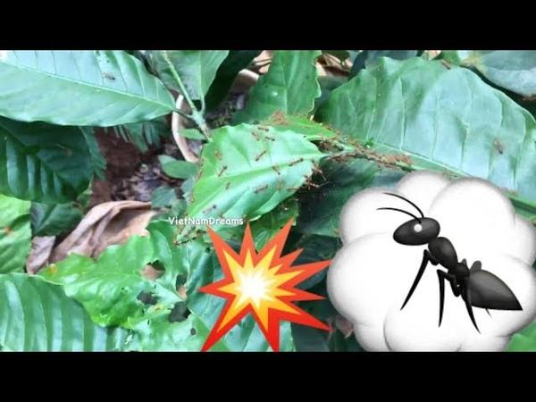 Khi bị kiến phun lửa 🔥 mới ngộ ra cái kết thân thương Giant forest ants in Vietnam