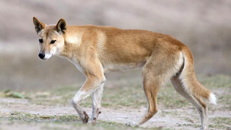 Динго главный хищник Австралии Интересные факты о диких собаках динго