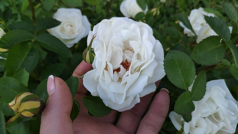 Канадская роза J.P. Connell