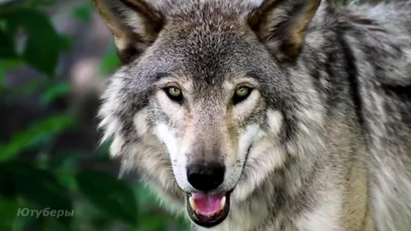Волк спас бабулю от непрошеных гостей Год назад она взяла его волчонком приняв