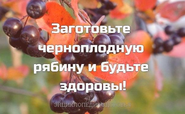 Заготовьте черноплодную рябину и будьте здоровы!