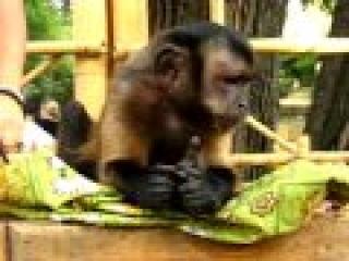 Mojo the Capuchin Monkey