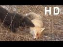 Охота на лис. Охота на лис c норными собаками . 2017