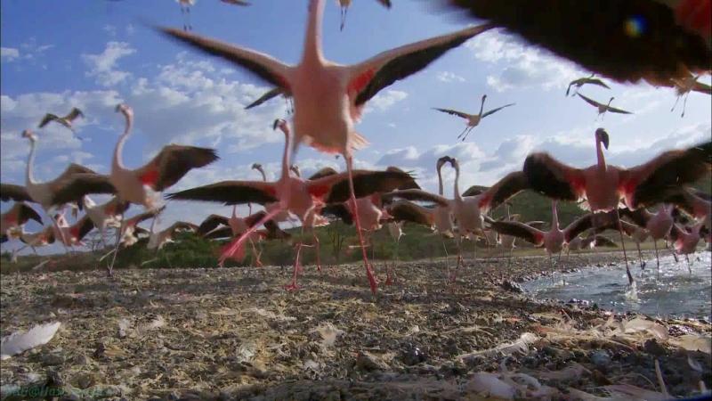 BBC Земной полёт 2 Африка Познавательный природа орнитология животные 2012