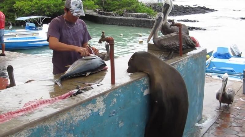 Fishmarket Puerto Ayora Santa Cruz Island Galapagos