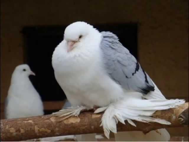 Валерий Власов - Голуби целуются на крыше.avi