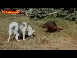 Аляскинский маламут против росомахи