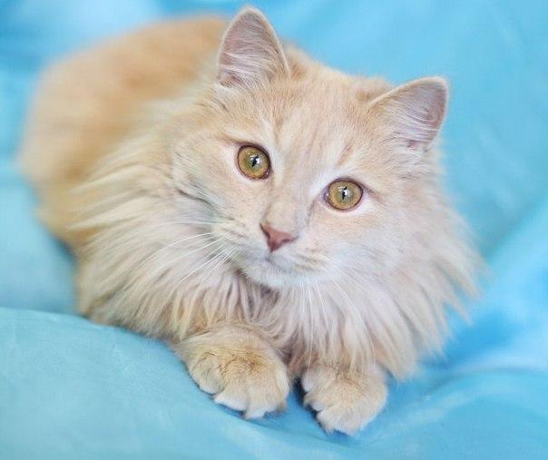 коты персикового окраса пушистые через