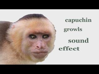 The Animal Sounds: Capuchin Monkey Growls - Sound Effect - Animation