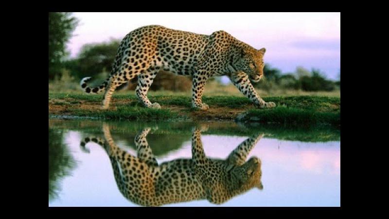 Дикие кошки Хищники Африки Леопарды Фильм от National Geographic