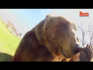 Wrestling_a_grizzly_bear_in_my_gardenbarcroft_tv174
