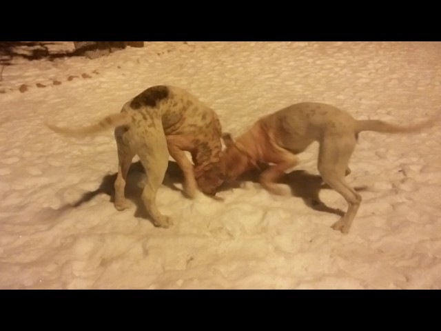 2 декабря 2016 г. Пит-бульдоги от Хана и Беллы. Разборка во время приёма пищи (возились 17 минут), щенкам 6,5 месяцев.