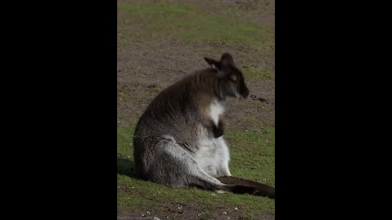 Wallaby Imitates The Humming Wolfs Of Wall Street - The Money Chant · coub, коуб