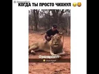 лев чихнул