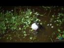 Брачная песня монгольской жабы - Bufo (Pseudepidalea) raddei