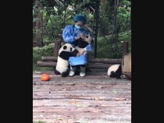 Тяжелая работа с пандами