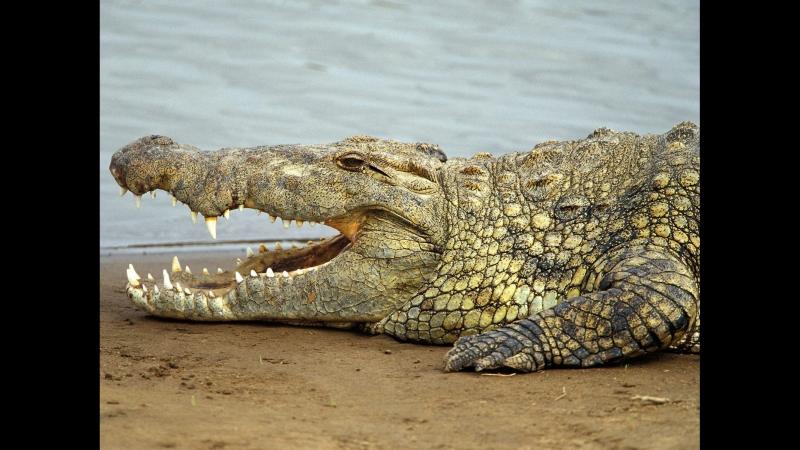 Крокодилы против пум и ягуаров