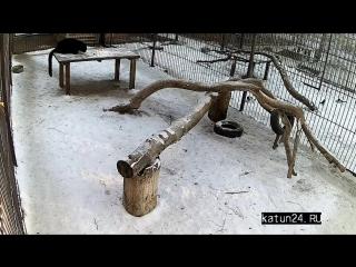 Веб-камеры К24: трапеза дальневосточного леопарда в барнаульском зоопарке