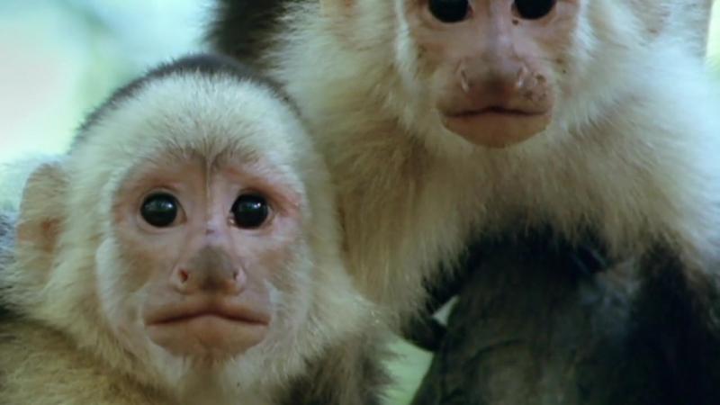 BBC Жизнь млекопитающих Карьеристы 9 серия