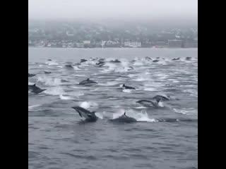 Стая дельфинов в Калифорнии