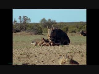 BBC Уроки выживания (02). Взросление (Познавательный, природа, животные, 1990)