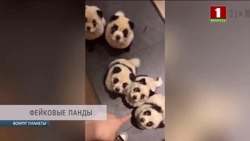 В китайском городе Чэнду в панда-кафе, покрашенных собак выдавали бамбуковых медвежат