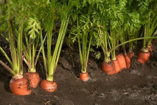 Ваша Морковь взойдет через 4-5 дней!, изображение №2