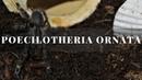 Кормление паука птицееда Poecilotheria Ornata L1 2