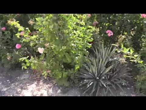 Хлороз на розе муравьи в корнях питомник роз полины козловой