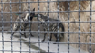 Семейная разборка гиен! Quarrel of hyenas