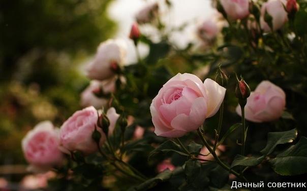 Это средство спасет Ваши розы!