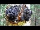 Чага березовый гриб