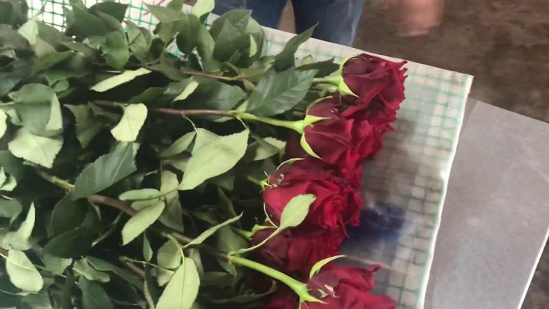 Делаем обзор сорта розы Explorer на плантации в Эквадоре