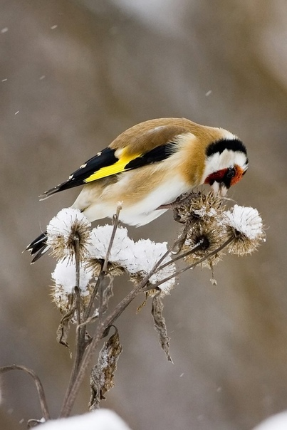 Щегол - потрясающая птичка! ✨