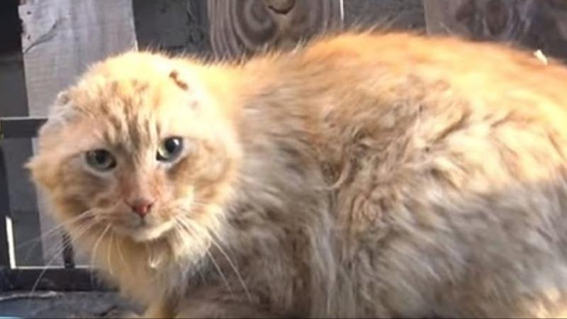 Безухий и почти беззубый рыжий кот блуждал по улицам нуждаясь в доме