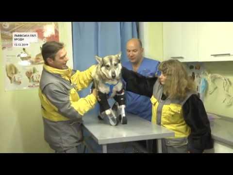 Врятувала цуценят, хоча сама нещодавно втратила лапи: зворушлива історія собаки Маї із Львівщини