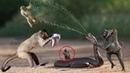 10 Khỉ vs Báo Đốm vs Rắn cặp nong - Trâu rừng cứu nhi đồng thoát khỏi nanh vuốt sư tử