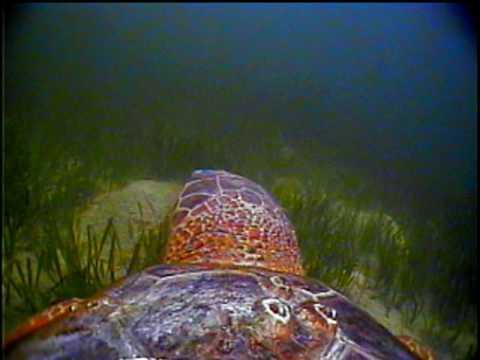 The Traveling Turtle - Loggerhead Sea Turtle Critter Cam