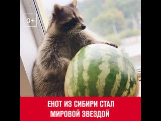Енот из Сибири стал мировой звездой - Москва FM