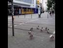 Утки переходят дорогу по сигналу светофора