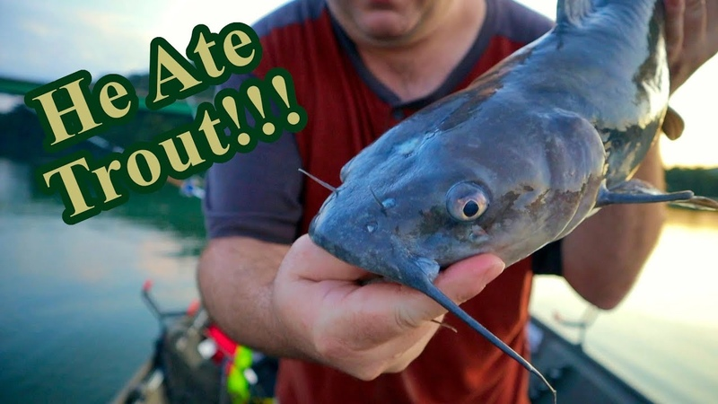 Fishing WITH Trout for Catfish (NEW PB FISH CAUGHT)