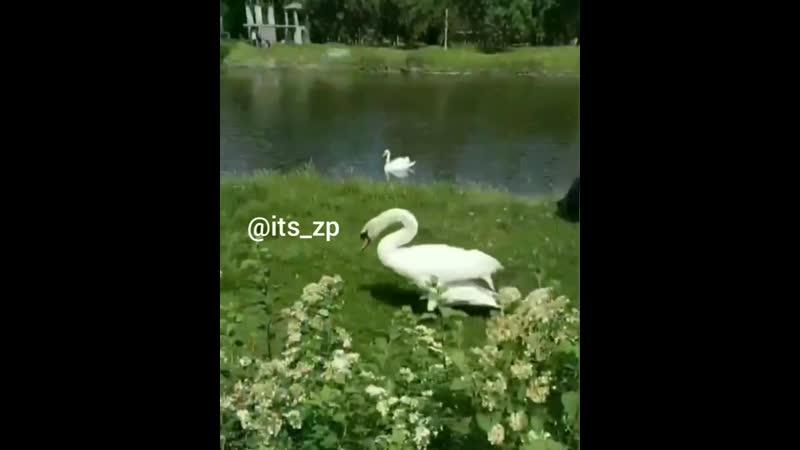 Когда с селухи приехал в Дубовку, и надо срочно сфотаться с лебедем.