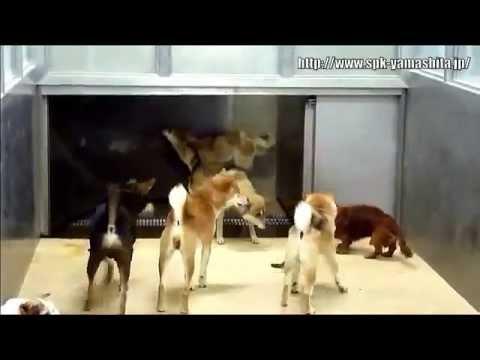 Гуманное усыпление бродячих собак в Японии