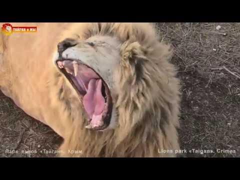 КРУТЕЙШИЙ вечер Поют ВСЕ львы Тайгана СУПЕР перекличка GREAT evening ALL lions roaring in Taigan